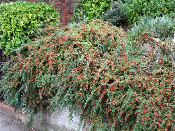 Cotoneaster groundcover plants garden center dry ridge kentucky
