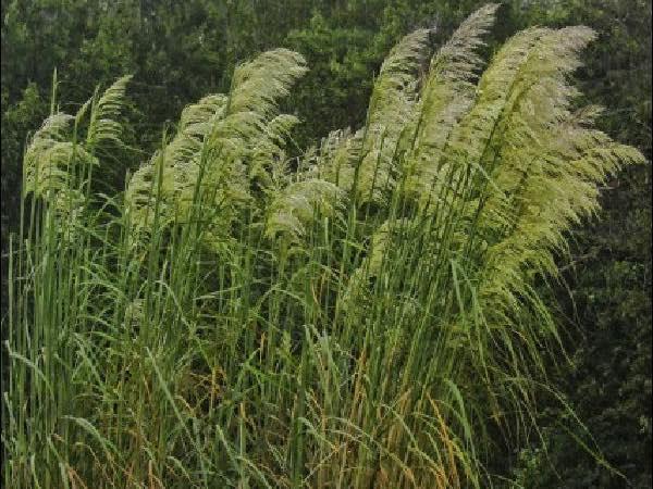 Plume Grass ornamental grasses garden center dry ridge kentucky
