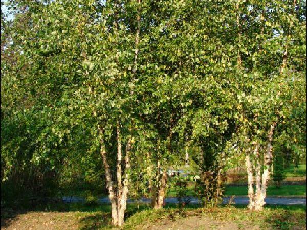Riverbirch tree nursery showplace garden center